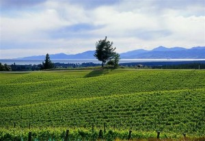 New Zealand Vineyard - Nelson
