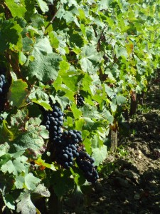 The manicured vines of Chateau Margaux