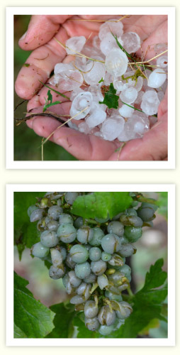 003_Hail_battered_grapes.115454