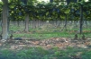 The vines just before harvest 2010
